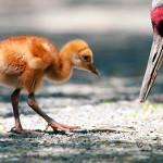 sandhill-crane-chick